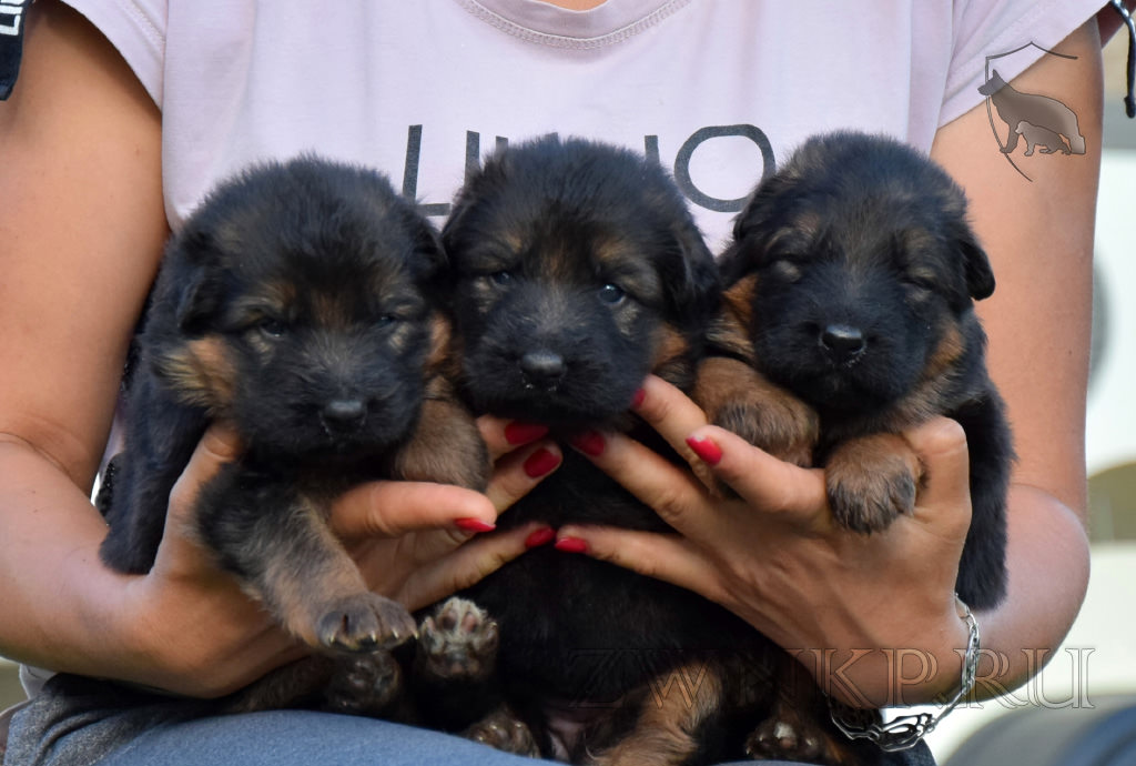 Puppies from GARRY & KAORA - BOY and GIRLS