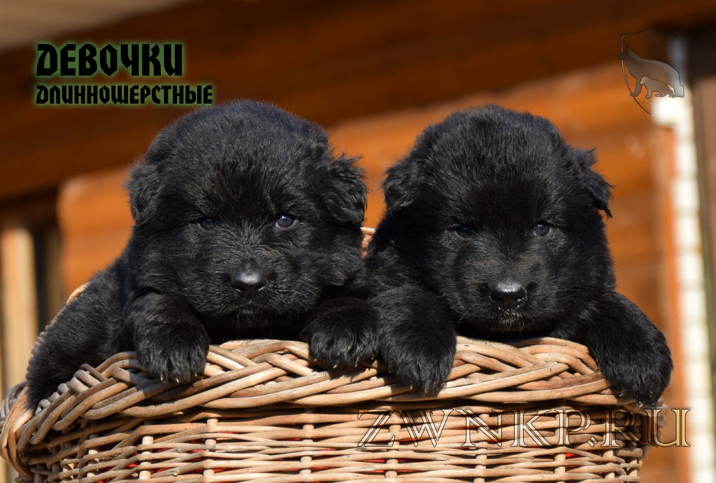 Puppies UMARO & TSEYRA 2 - GIRLS / LH /