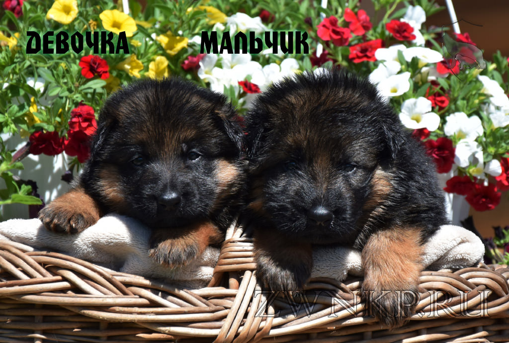 Puppies URAGAN and BROSKA - GIRL and BOY