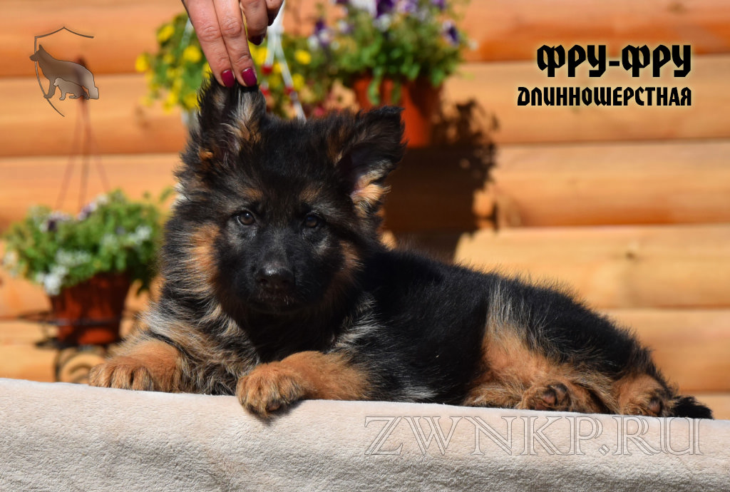 Puppies URAGAN and VIAGRA - FRU-FRU / LH /