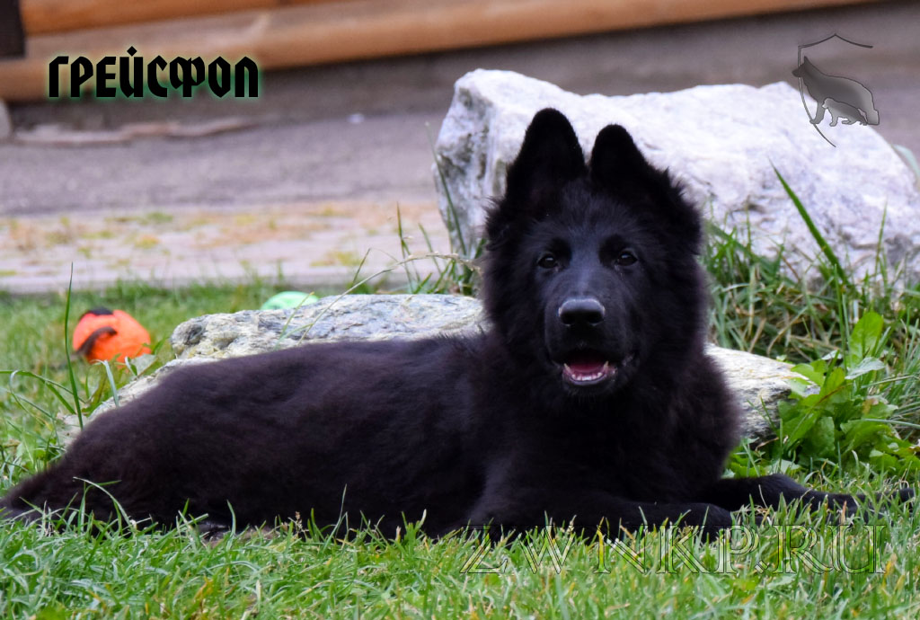 Puppies URAGAN & YOLKA 3 - GREJSFOL / Black /
