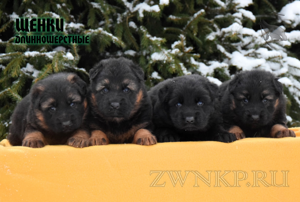 Puppies ZER GUT and SHTUCHKA - BOYS and GURL / LH /