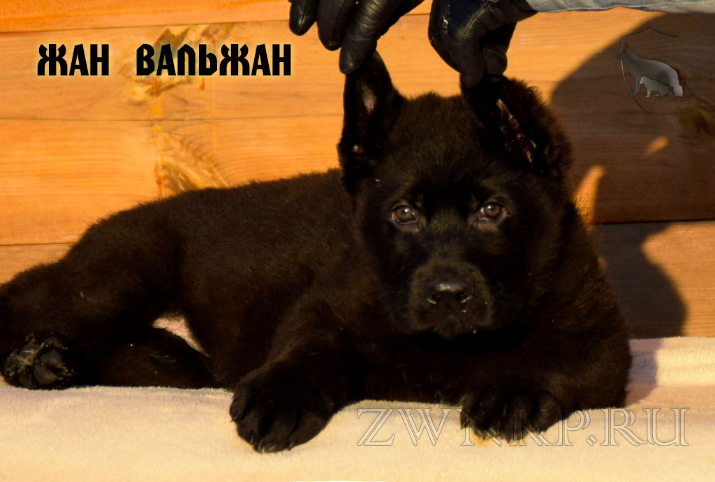 Puppies URAGAN & NIKITA_DA - ZHEAN VALZHEAN / Black /